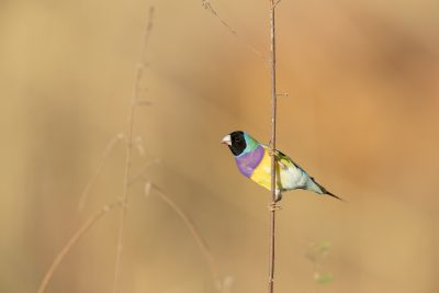 Gouldian Finch - Black-faced Male