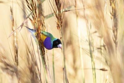 Gouldian Finch - Black-faced Male Feeding