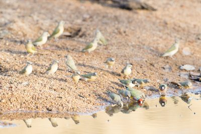 Gouldian Finch - Drinking at waterhole (Erythrura gouldiae) - Edith Falls, NT