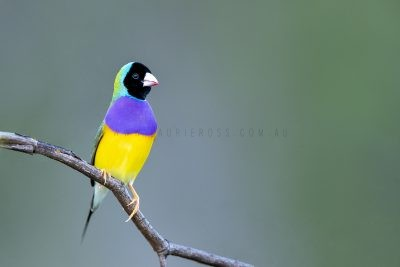 Gouldian Finch - Male Black-faced