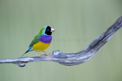 Gouldian Finch - Male Black-faced.