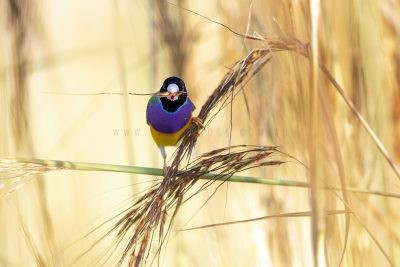 Gouldian Finch - Male Black-faced Feeding on Speargrass