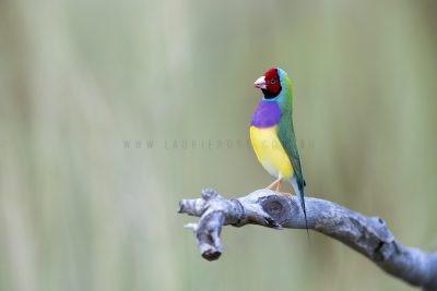 Gouldian Finch - Male in Breeding