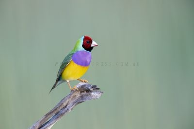 Gouldian Finch - Male Red-faced
