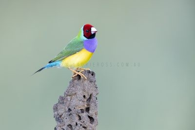 Gouldian Finch - Male Red-faced on Termite Mound