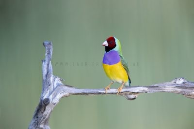 Gouldian Finch - Male Red-faced.1