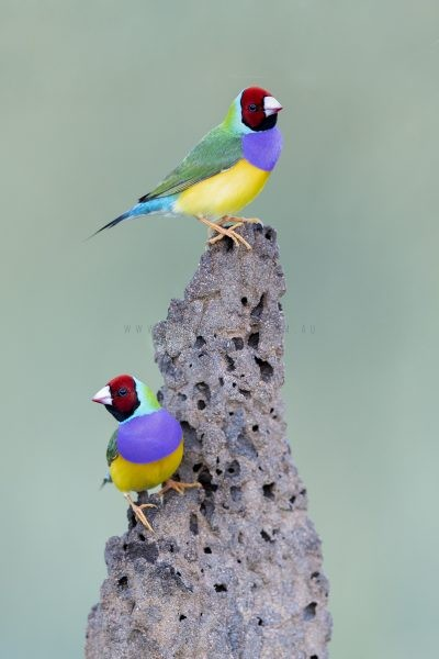 Gouldian Finch on Termite Mound