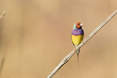 Gouldian Finch - Red-faced Male  (Erythrura gouldiae)
