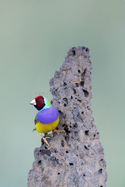 Gouldian Finch - Red-faced Portrait