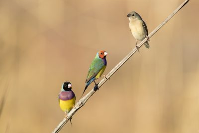 Gouldian Finch - Male Red & Black-faced (Erythrura gouldiae)
