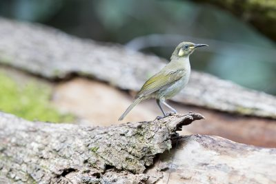 Graceful Honeyeater (Meliphaga gracilis gracilis)