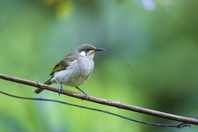 Graceful Honeyeater.1