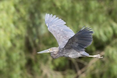 Great-billed Heron - In Flight (Ardea sumatrana).