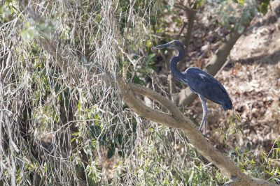 Great-billed Heron (Ardea sumatrana) - Mary River NP