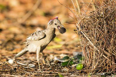 Great Bowerbird - Displaying (Chlamydera nuchalis)