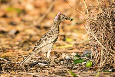 Great Bowerbird - Displaying (Chlamydera nuchalis).