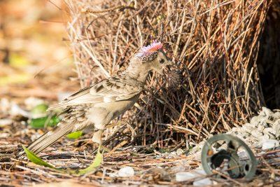 Great Bowerbird - Displaying (Chlamydera nuchalis)1