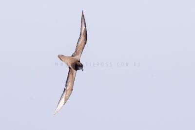 Great-winged Petrel (Pterodroma macroptera macroptera)