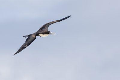 Greater Frigatebird (Fregata minor)