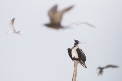 Greater Frigatebird - Perched (Fregata minor)