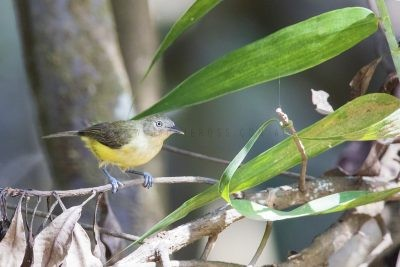 Green-backed Honeyeater.1