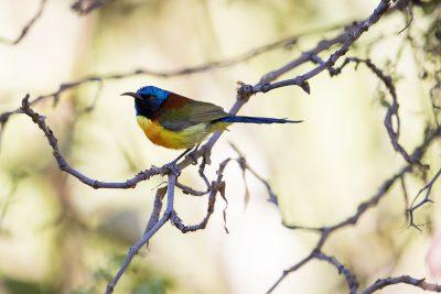 Green-tailed Sunbird - Male (Aethopyga nipalensis)