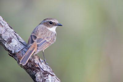 Grey Bushchat - Female (Saxicola ferreus)
