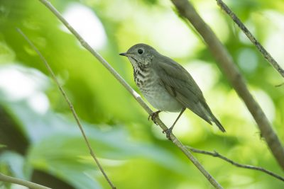 Grey-cheeked Thrush (Catharus minimus)
