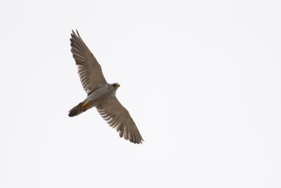 Grey Falcon (Falco hypoleucos) - In Flight