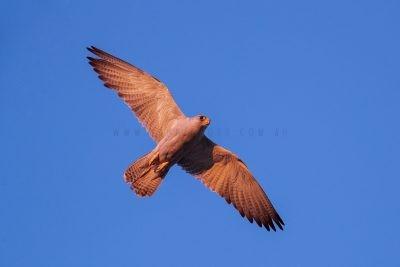 Grey Falcon - Female in flight