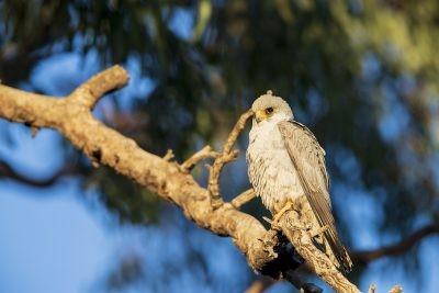 Grey Falcon - Male (Falco hypoleucos)5