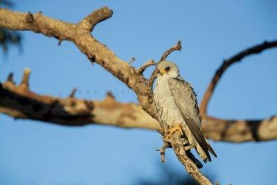Grey Falcon - Male (Falco hypoleucos)6
