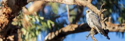 Grey Falcon - Panoramic (Falco hypoleucos)1