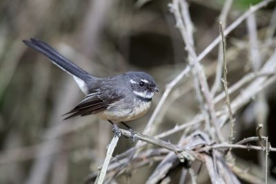 Grey Fantail - Rhipidura albiscapa