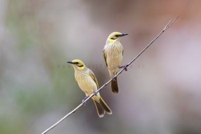 Grey-fronted Honeyeater - Pair (Lichenostomus plumulus planasi)