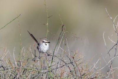 Grey Grasswren.2