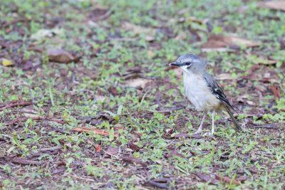 Grey-headed Robin (Heteromyias albispecularis cinereifrons)