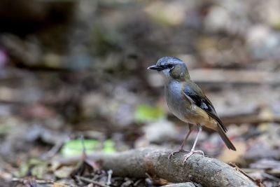 Grey-headed Robin (Heteromyias albispecularis cinereifrons).2