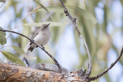 Grey Honeyeater (Conopophila whitei) - Alice Springs, NT