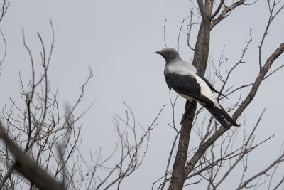 Ground Cuckoo-shrike (Coracina maxima)