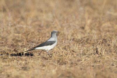 Ground Cuckooo-shrike (Coracina maxima)