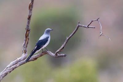 Ground Cuckoo-shrike (Coracina maxima).1
