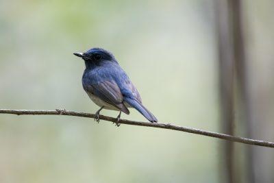 Hainan Blue Flycatcher - Male (Cyornis hainanus)