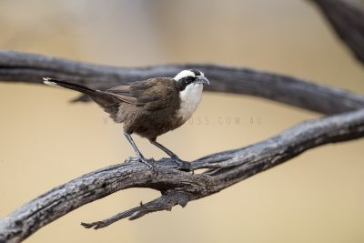 Hall's Babbler (Pomatostomus halli)1