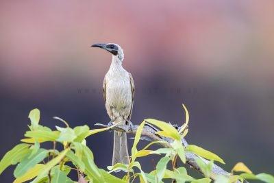 Helmeted (Sandstone) Friarbird (Philemon buceroides ammitophila).1