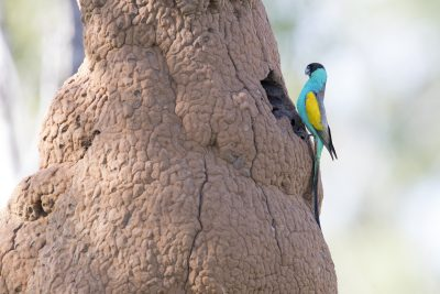 Hooded Parrot - At Nest (Psephotus dissimilis)