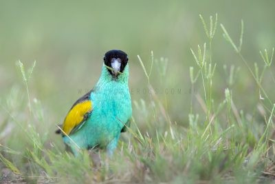 Hooded Parrot - Male.