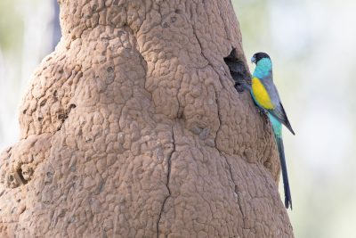 Hooded Parrot - Male at Nest (Psephotus dissimilis).