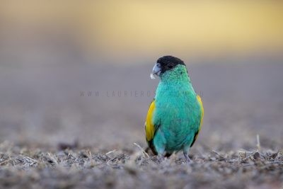 Hooded Parrot - Male (Psephotus dissimilis).1