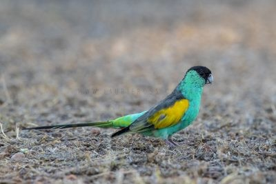 Hooded Parrot - Male (Psephotus dissimilis).3